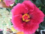 Гибискусы лонг Розоцветковые (2)