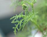 Пеларгония душистая  Fillicifolium