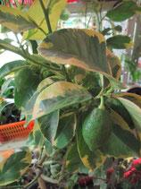 """Лимон вариегатный (жёлтая вариегатность)   C.limon """"Foliis variegatis"""" (gialla)"""
