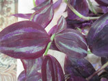 традесканция Zebrina HEVa Purple heart Зебрина с пурпурно синими листьями!!!
