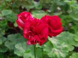 Пеларгония розоцветная ERAs Blodröda