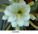 Эпифиллум Crenatum