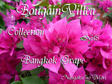 Bougainvillea Bangkok Grape バンコックグレープ