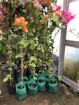 BougainVillea California Oranje カリフォルニアオレンジNB