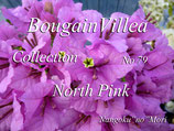 New  Bougainvillea North Pink