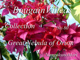 Bougainvillea Great Nebula of Orion