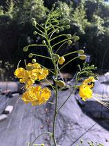 黄花の黄胡蝶・キバナノオオゴチョウ