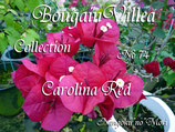 New Bougainvillea Carolina Red    カロライナレッド