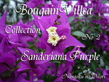 Bougainvillea Sanderiana Purple サンデリアナパープル
