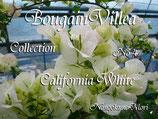 Bougainvillea  California Whit FK  カリフォルニアホワイト