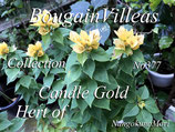 Bougainvillea Candle Gold
