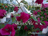 Bougainvillea Kiss Me                 キスミー