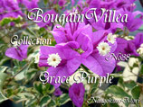 Bougainvillea Grace Puple