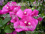 New Bougainvillea Carolina Pink   カロライナピンク