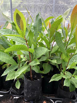 Cashew Tree カシューナッツ実生苗木 Vietnam M23
