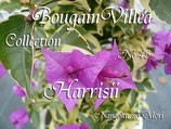 Bougainvillea Harrisii    ハリシー