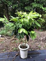 アラビカ種コーヒー