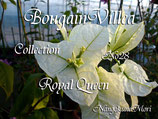 Bougainvillea Royal Queen       ロイヤルクイーン