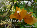 Bougainvillea Golden Gold