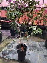 モーリシャス ライチ 結果樹取り木