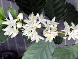 アラビカ種コーヒー結実中