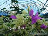 Bougainvillea Queen Tiara S