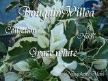 Bougainvillea Grace white