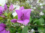 Bougainvillea Queen Tiara ティアラ