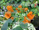Bougainvillea Angel Orange Spot Variegation Leaf
