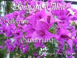 Bougainvillea Sanderiana      サンデリアナ