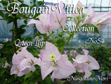 Bougainvillea Queen Llip    クイーンリップ