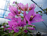 Bougainvillea Cape Wind