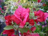 Bougainvillea California Red     カリフォルニアレッド