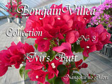 Bougainvillea Mrs,But          ミセスバット