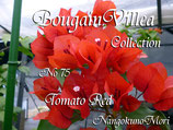 Bougainvillea Tomato Red