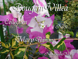 Bougainvillea Mary Thimma     ティンマ