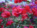 Bougainvillea San Digego Red    サンジェゴレッド
