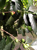 アラビカ種コーヒー実付