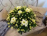 Chrysantheme weiss