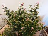 Schneebeere rosa