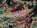 COTONEASTER - RAMPANT - Différentes variétés