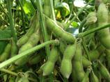 枝豆(300g)