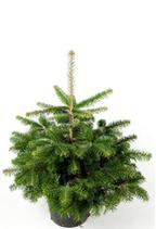 Weihnachtsbaum im Topf