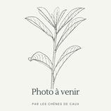 Mentha x piperita 'Crispula' - Menthe poivrée à feuilles crispées AB