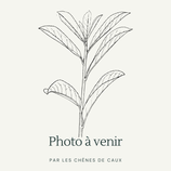 Mentha spicata var. crispa 'Small Dole' - Menthe verte à feuilles crispées de Small Dole AB