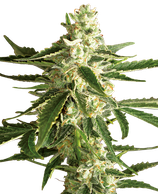 White Diesel Haze Automatic - white label