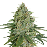 Super Skunk Autoflower - seed stockers