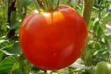 TOMATE RONDE Alsace