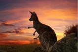 Känguru Bratwürste