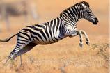Zebra Bratwurst